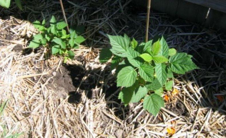 На фото — органическая мульча, она помогает растению хорошо развиваться, удерживает влагу в грунте и утепляет корни