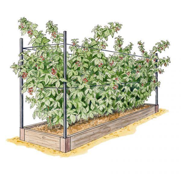 Опоры поддерживают полу-стелющийся кустарник и помогают собирать урожай