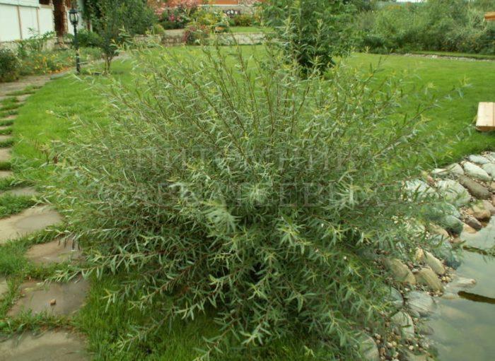 Растение быстро вытягивается, поэтому буквально за год вы получите полноценный кустарник