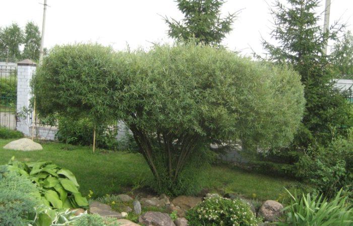 При желании можно сформировать иву в виде деревца, благодаря небольшим размерам обрезать крону просто