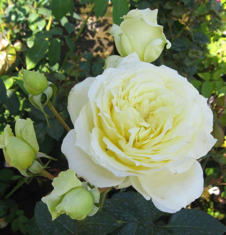 Роза эльф является одним из сортов розы плетистой