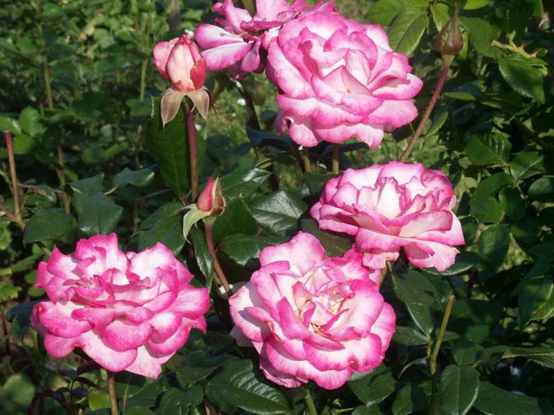 Роза сорта Хендель – первая в истории повторноцветущая плетистая роза