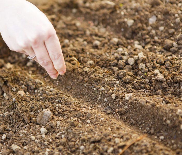 Шалфей дубравный посадка и уход в открытом грунте