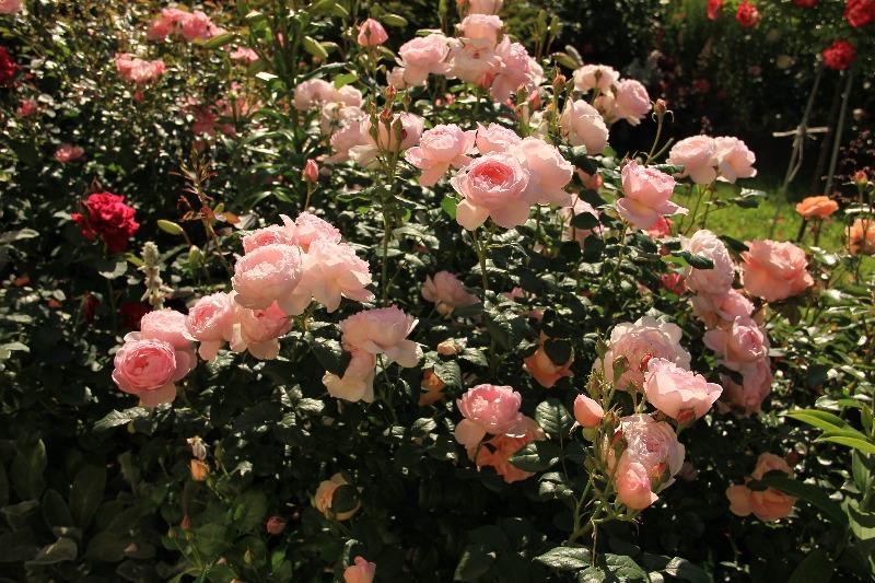 Английские парковые розы бывают кустовидные и плетистые