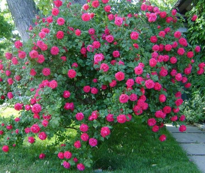 Канадская роза широко применяется в ландшафтном дизайне