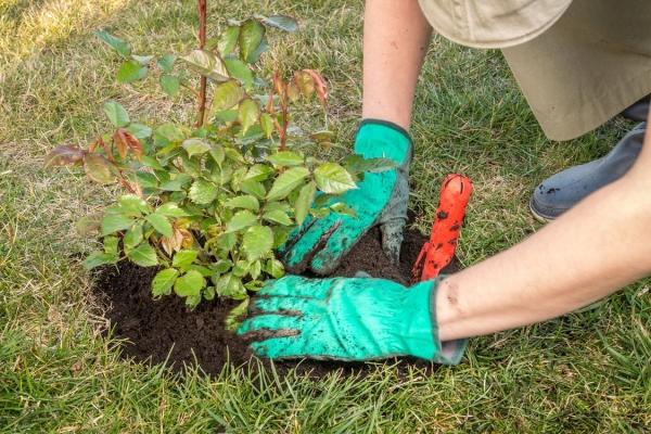 Уход и выращивание парковых роз просты и доступны даже для начинающих цветоводов
