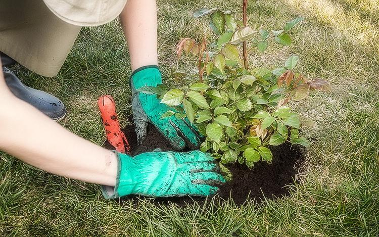 Ростки сажаются в удобренную и разрыхленную почву, как на фото