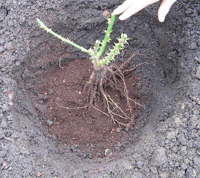 Ямка для саженца розы должна быть такой, чтобы ее корни располагались в ней свободно