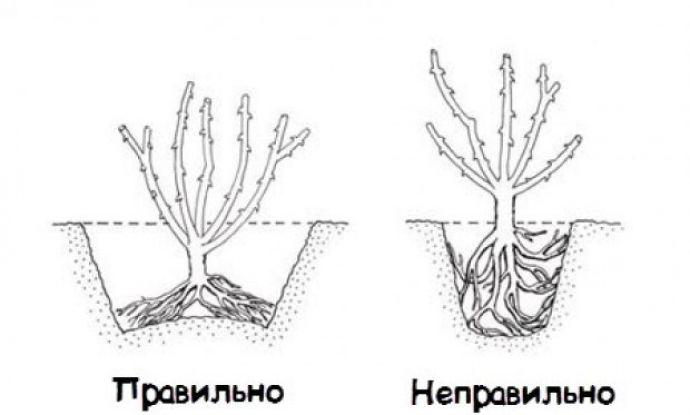 В лунке корни саженца расправляются, так они будут лучше развиваться