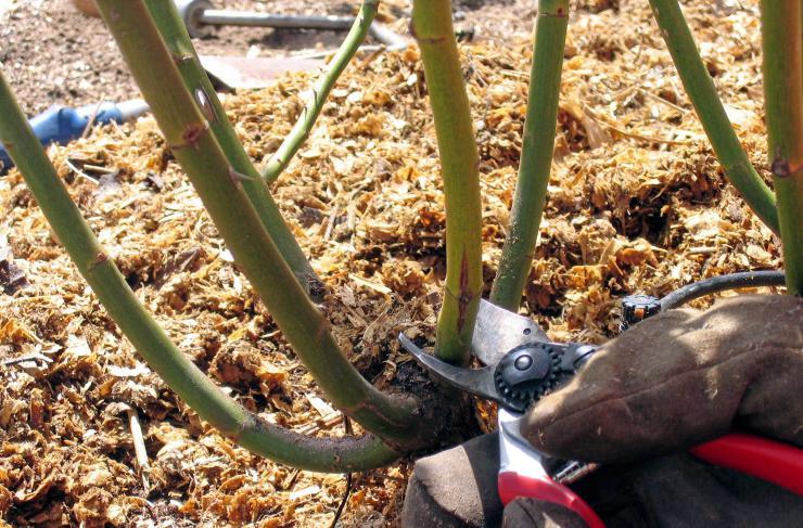 Правильная обрезка необходима для нормального развития розы