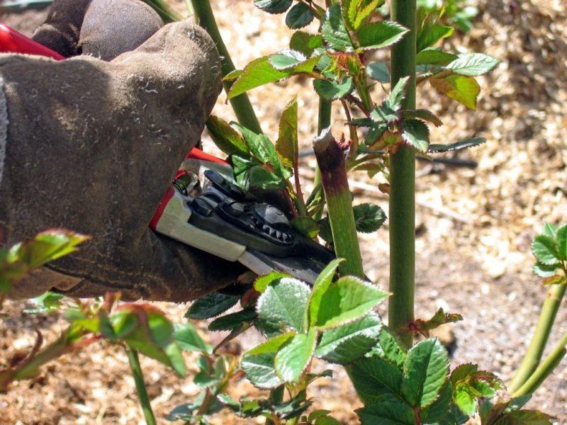 Весенняя обрезка – важный этап в уходе за розой