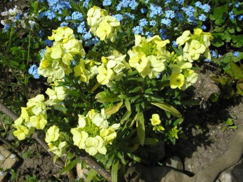 Если ваш участок располагается в северных широтах, то советую выращивать сорт Снежная королева — у него самые высокие показатели морозостойкости и продолжительный период цветения. Первые соцветия появляются уже спустя 60 дней после посева семян