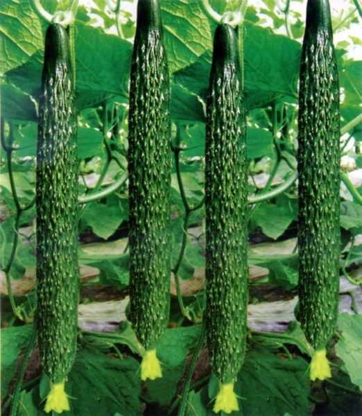 Длинные, вкусные, нежные, урожайные с длительным сроком плодоношения