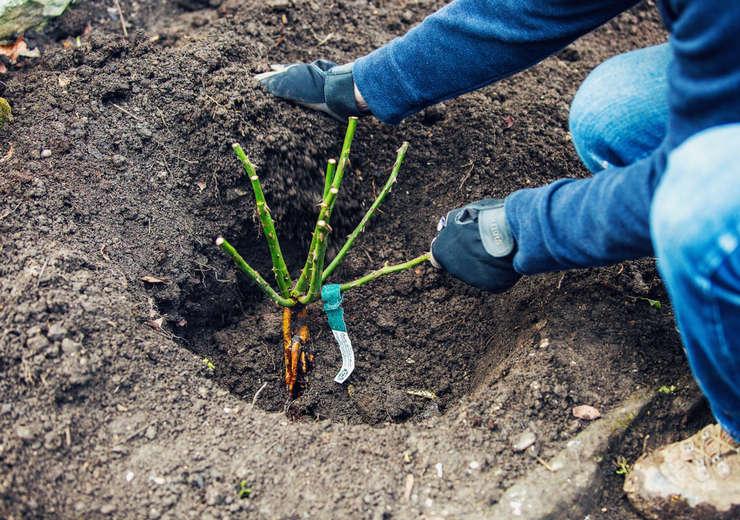 Высаживать розу Айсберг лучше всего в апреле