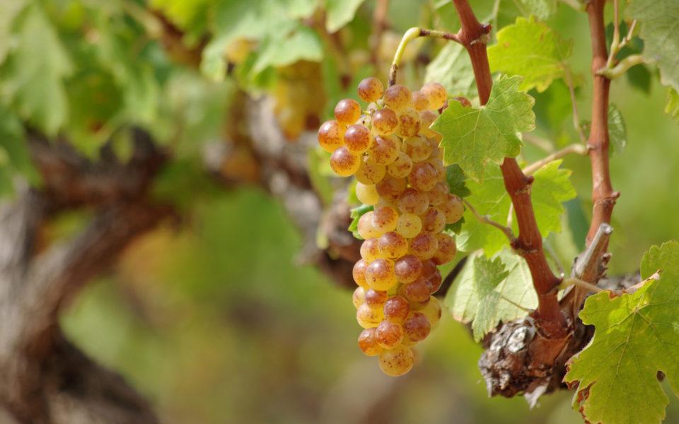 Лучшие сорта крымских вин: посадка и уход