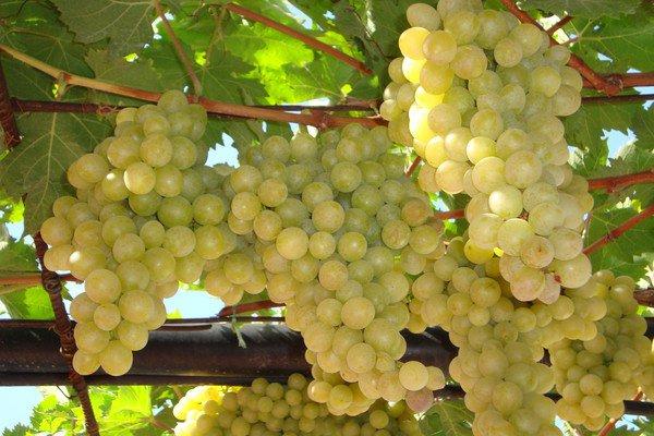 На фото: одна из родительских для Тасона форм винограда — мускат Италия