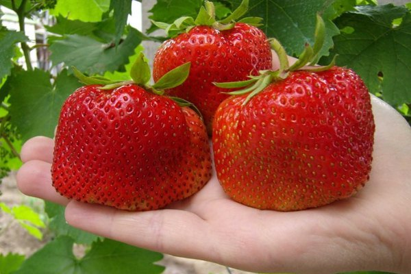 Один из родительских сортов Богемы — это луч ВИРа, славящийся огромными ягодами