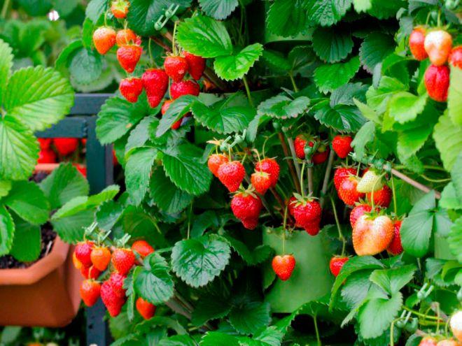 Ампельные сорта не требовательны к свету и дают прекрасный урожай