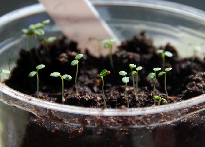 Подросшую рассаду самое время подкормить комплексными удобрениями