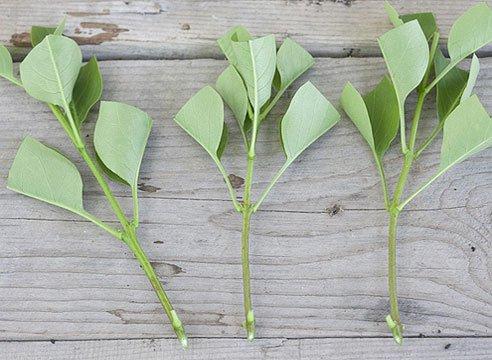 Размножение черенками летом дает наибольшее количество корней и обеспечивает лучшую приживаемость саженцев