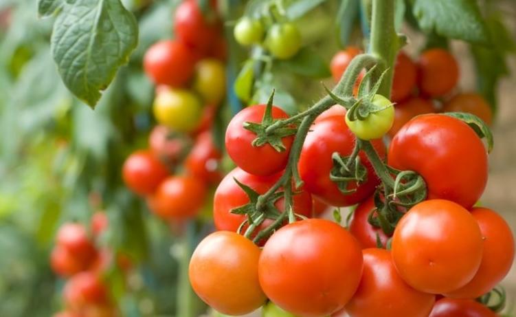 Периодически снимайте зрелые плоды, тогда зеленые будут наливаться быстрее