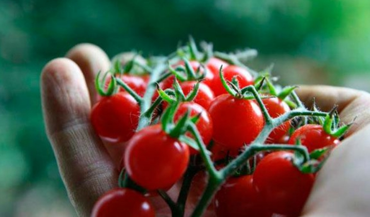 Плоды небольшие и созревают целыми гроздьями