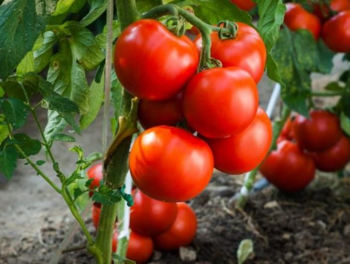 Плоды созревают в кистях по 5 штук, иногда немного больше или меньше