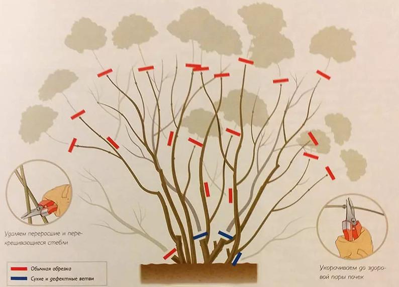 Срезка соцветий и ненужных веток (крупнолистные сорта)