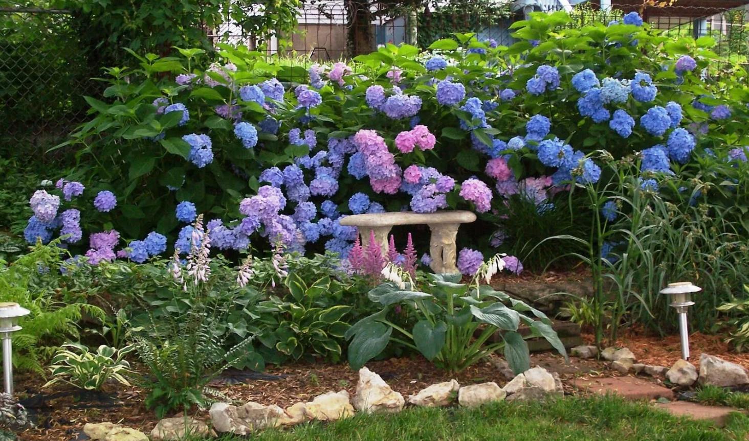 Крупнолистная гортензия в дизайне сада