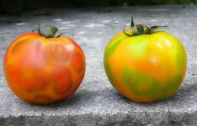 Томат Мазарини – фото, отзывы, описание сорта. Выращивание и уход за помидорами сорта Мазарини