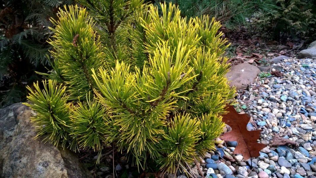 В природе горные сосны (на фото) растут преимущественно на щелочных доломитах и известняках