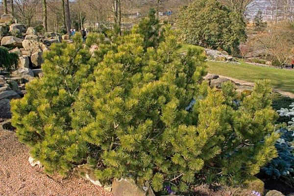 Если дать растению естественно развиваться, через несколько лет можно получить кустарник, удивительной, нестандартной формы.