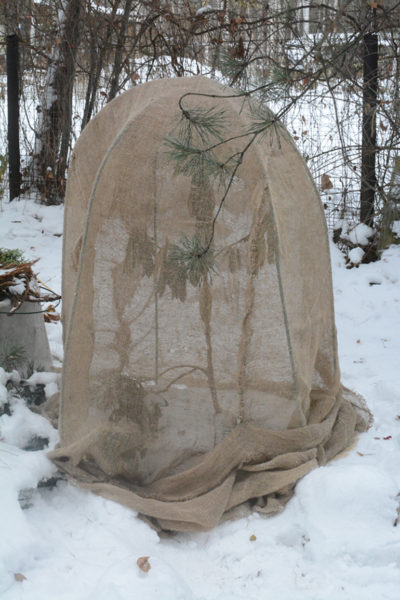 Успех выращивания клена — легко перенесенная зимовка. Поэтому первые пять лет после посадки саженца укрывайте его специальным материалом на зимнее время, как на фото