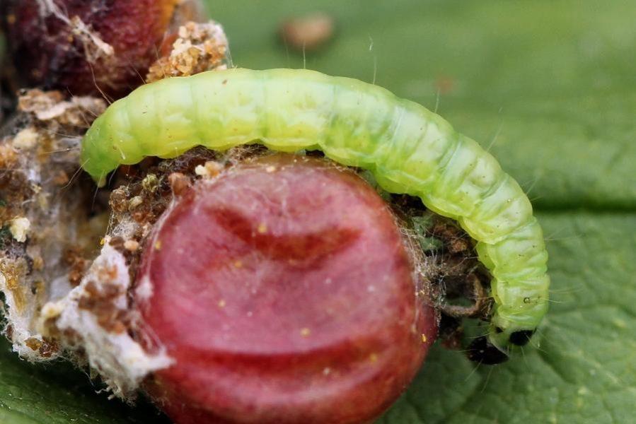 Например, гусеницы огневки повреждают крупные ягодные плоды, личинки галлицы наносят урон побегам и ягодам, а смородиновая стеклянница уничтожает куст целиком, повреждая стебли