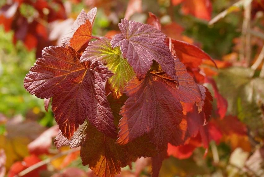 Кусты смородины особенно эффектны осенью, когда цвет листвы окрашивается в невообразимые цвета и оттенки
