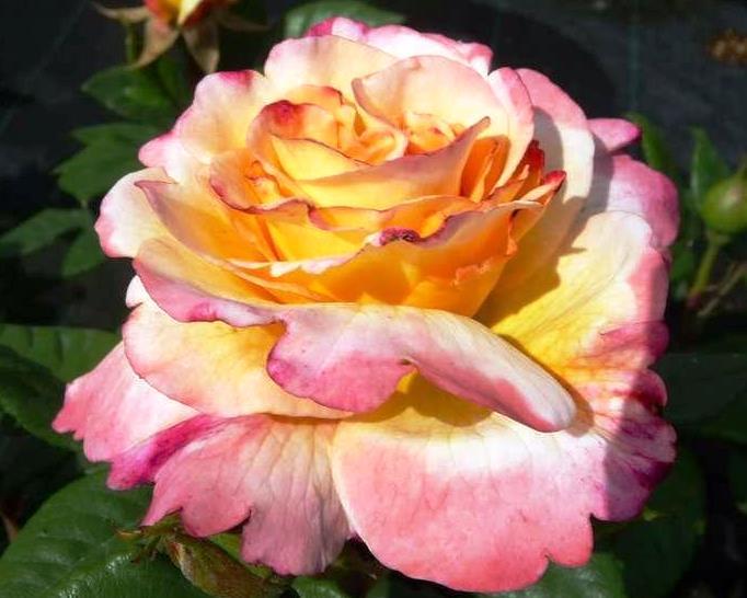 Роза, акварель : характеристика, описание сорта