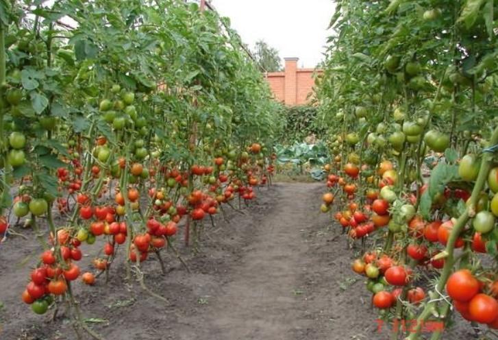 В теплых регионах этот сорт очень часто выращивается фермерами на продажу