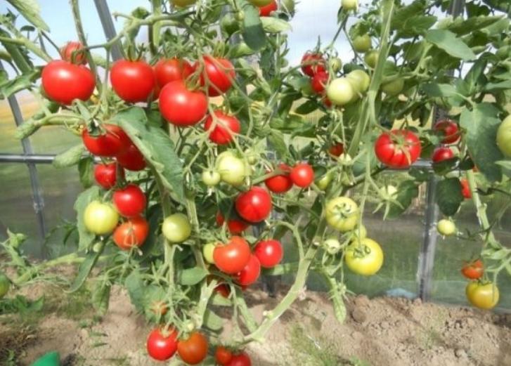 На растении созревает очень много плодов, поэтому оно нуждается в подвязывании