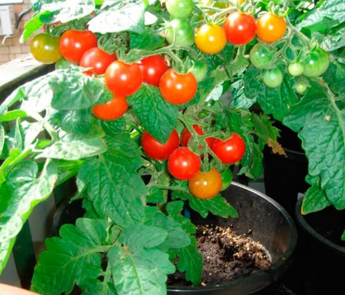 Горшок под растение должен быть достаточно вместительным для нормального развития корневой системы