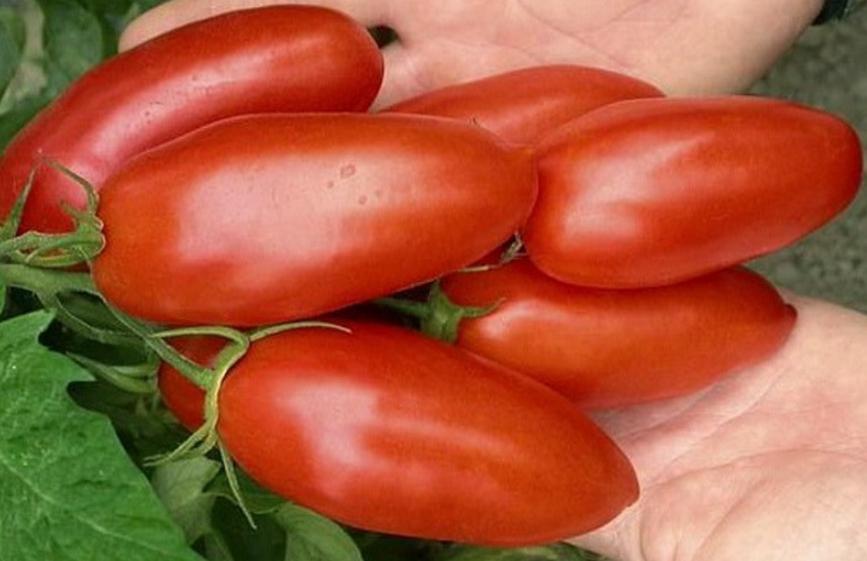 После снятия урожая томаты очень долго сохраняют свежесть
