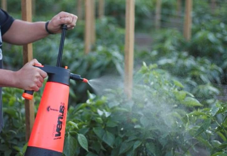 Средством можно обрабатывать как рассаду, так и взрослые растения