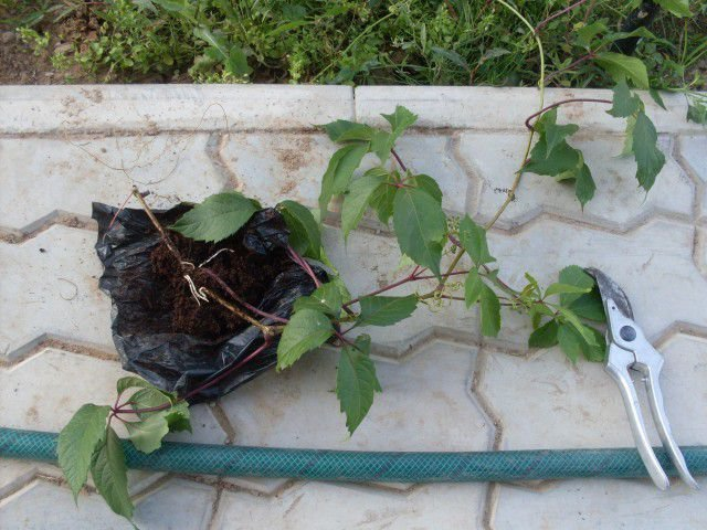 Отпрыск — это готовое для пересадки молодое растение с крепкой корневой системой