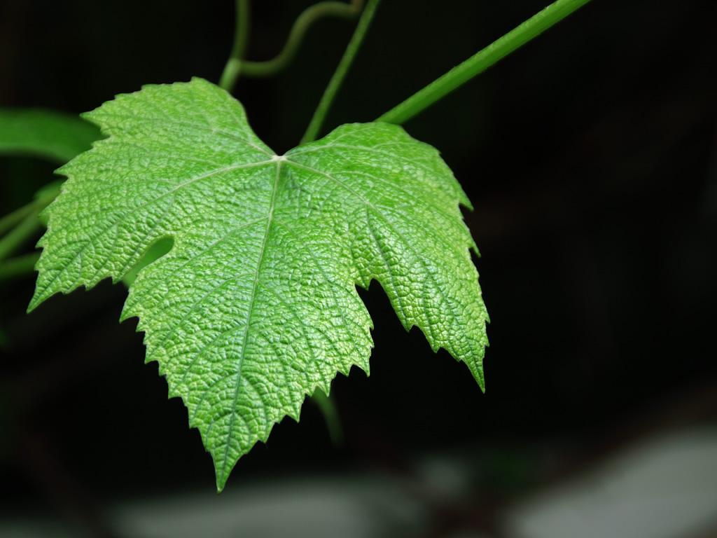 карелии фото листа винограда который является отличным
