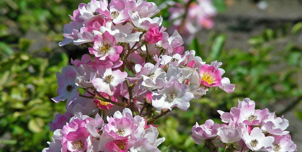 Розы мускусные гибриды часто используются в городском озеленении