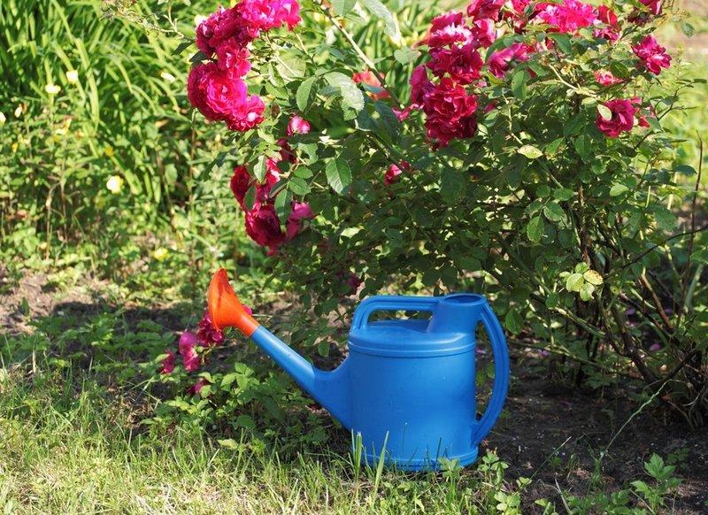Правильные посадка и уход помогут вырастить здоровые красивые розы