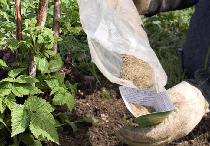 Если малина высаживалась в неудобренную почву, вносить удобрения следует через 2 года после посадки