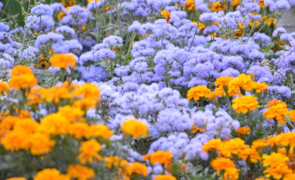 Буйство ярких красок подчеркивают синие бархотки