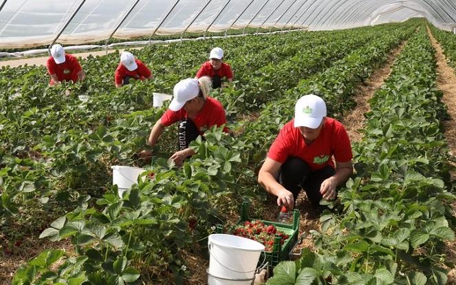 Фото: в Англии Лорд выращивается на промышленных плантациях в теплицах