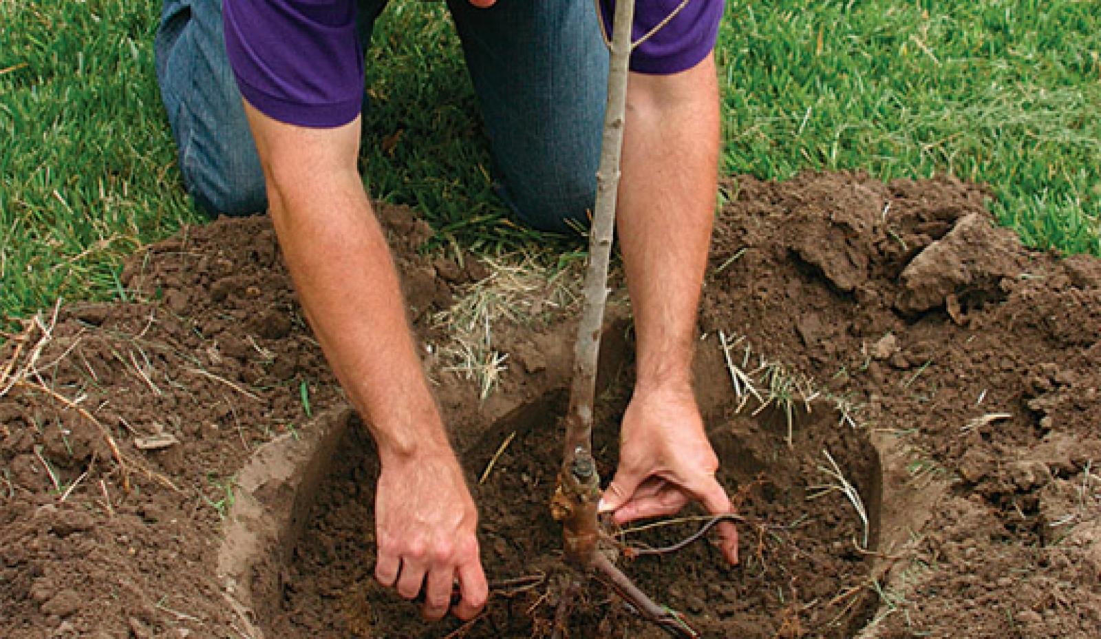 Правильное расположение корневой шейки – важнейшее условие правильной посадки
