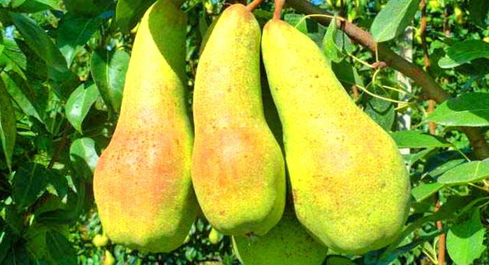 Плоды данного сорта достигают 20 см в длину и 8 см в ширину
